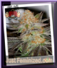 Sin City Sequoia Strawberry Fem 7 Cannabis Seeds